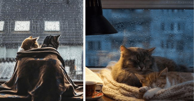 relaxing pictures of cats hiding from the rain at home thumbnail includes two pictures including two cats covered by a blanket in front of a window during the rain and another of two cats snuggling on a table in front of a window while it's raining