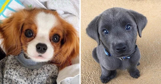 adorable teeny tiny puppies that look too cute to be real - thumbnail of two adorable puppies | Cavalier King Charles Spaniel | Silver Labrador