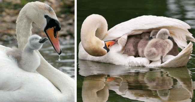 pictures of swan moms carrying their babies thumbnail includes two pictures including one of a swan holding a bunch of tiny swan babies under its wings and another of a tiny swan baby standing on its mother's chest