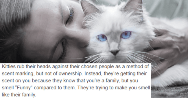 "tumblr thread explaining what cats think when we kiss them as well as what cats and dogs think when we accidentally step on them thumbnail includes a picture of a girl kissing a cat 'Kitties rub their heads against their chosen people as a method of scent marking, but not of ownership. Instead, they're getting their scent on you because they know that you're a family, but you smell ""Funny"" compared to them. They're trying to make you smell like their family.'"