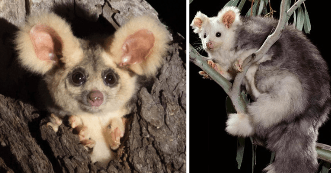 story about two new species of greater gliders discovered in Australia thumbnail includes two pictures including a small fluffy greater glider and another of a greater glider sitting on a tree