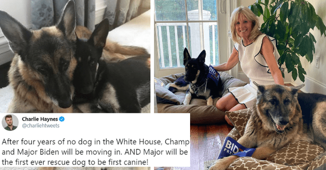 viral tweets about major and champ biden becoming the first ever rescue dog to live in the white house as first canine thumbnail includes two pictures including Jill Biden sitting with two dogs and another of two dogs cuddling 'Canidae - 000 Charlie Haynes @charliehtweets O After four years of no dog in the White House, Champ and Major Biden will be moving in. AND Major will be the first ever rescue dog to be first canine! BID PRI 1:56 AM · Nov 8, 2020 · Twitter for iPhone 15.3K Retweets 3.2K Q'