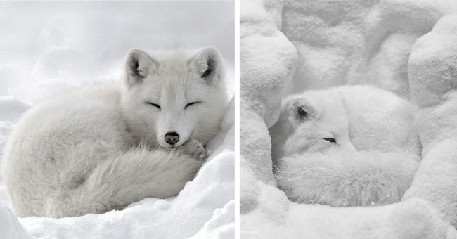 pictures of arctic foxes blending in with snow thumbnail includes two pictures of white arctic foxes lying in perfectly white snow