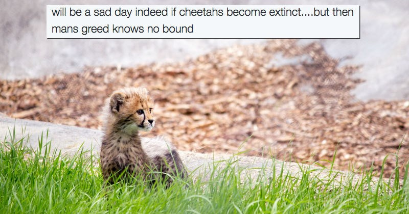 twitter cheetah endangered extinction cheetahs wildlife - 1291781