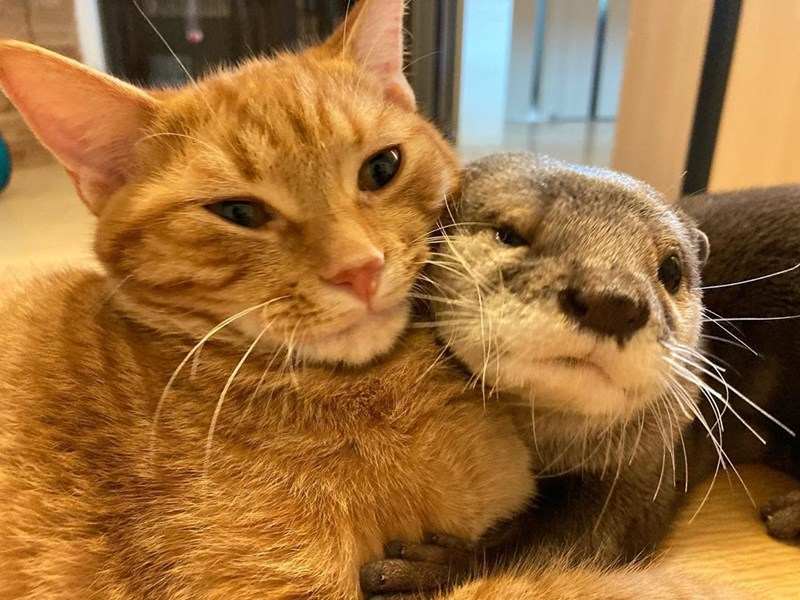 an otter and cat cuddling - thumbnail of otter and cat snuggling