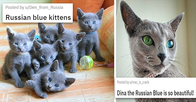 russian blue cat appreciation with pics and a vid - thumbnail of russian blue kittens and Dina the beautiful Russian Blue