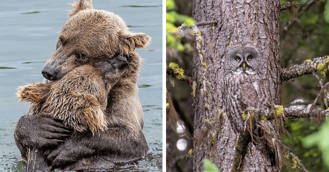 collection of pictures worth more than 1000 words thumbnail includes two pictures including one of two bears hugging in water and another of an owl camaflauging against a tree