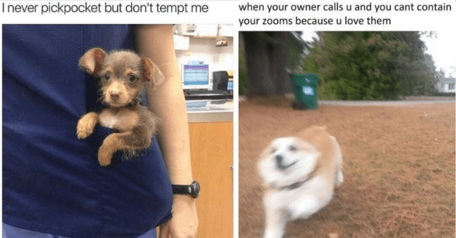 wholesome dog memes thumbnail includes two pictures including a tog running very fast zoomie 'Dog - when your owner calls u and you cant contain your zooms because u love them' and another of a puppy in a pocket 'Dog - I never pickpocket but don't tempt me'