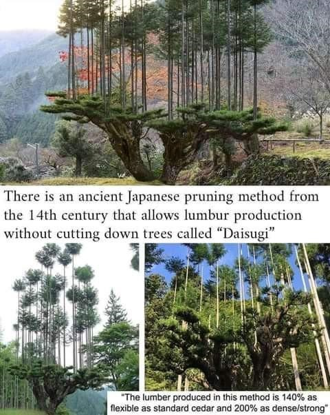 be amazed reddit amazing pictures images and videos cool stuff wow | There is an ancient Japanese pruning method 14th century allows lumbur production without cutting down trees called Daisugi lumber produced this method is 140% as flexible as standard cedar and 200% as dense/strong