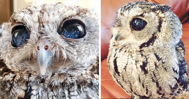 zeus the blind owl and his eyes that look like galaxies - thumbnail includes two images of zeus and his galaxy eyes big round deep blue eyes with white flecks speckles like stars constellations