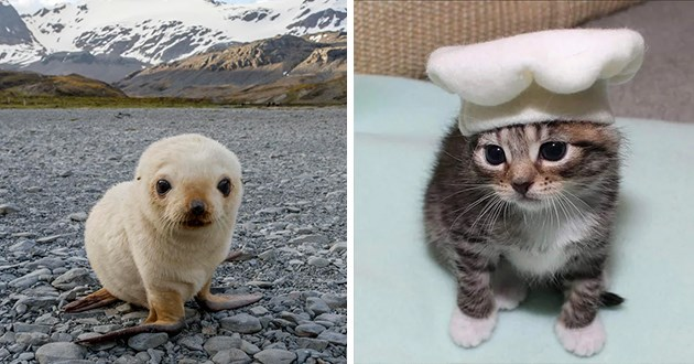 pics and vids of adorable animals - thumbnail includes two images one of a baby seal and one of a kitten wearing a tiny chefs hat