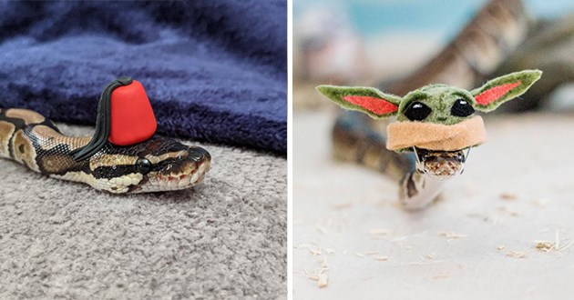 snakes wearing tiny hats - thumbnail includes two images of snakes | cute little snake wearing a tiny red fez hat | funny snake wearing a baby Yoda soft hat Star Wars Mandalorian