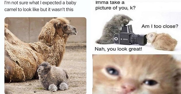 weeks best and cutest wholesome animal memes - thumbnail includes two memes, one of a baby camel and one of kitten taking a picture of another kitten | not sure expected baby camel look like but wasn't this | Imma take picture k? Am too close? Nah look great!