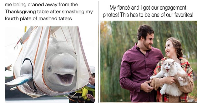 "list of funny and fresh animal memes - thumbnail includes two memes one of happy beluga whale ""me being craned away from the thanksgiving table after smashing my fourth plate of mashed taters"" and one of couple with angry cat ""my fiance and i got our engagement photos! this has to be one of our favortes"""