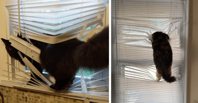 pictures of cats stuck in window blinds thumbnail includes two pictures including one cat hanging off some window blinds and another of a cat fully entangled in window blinds