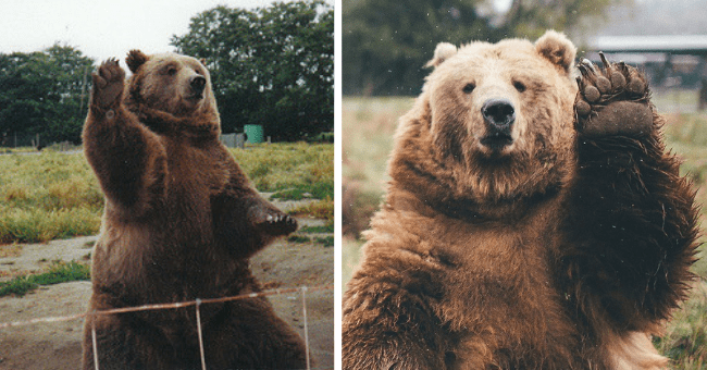 pictures and gifs of bears waving thumbnail includes two pictures of bears waving
