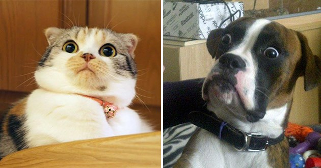 shocked expressions on pets - thumbnail of surprised cat and dog