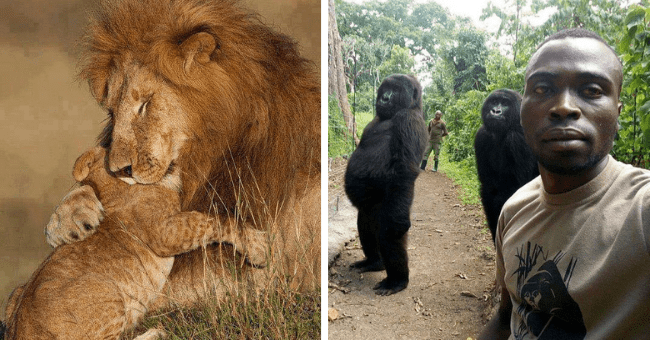 this week's pictures that are worth more than one thousand words thumbnail includes two pictures including a lion hugging its cub and two gorillas posing for a picture with two men