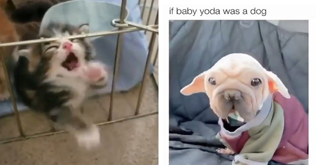 adorable, funny and wholesome list of animal pics and gifs - thumbnail includes two images one of adorable cat trying to leave cage and one of a dog that looks like baby yoda