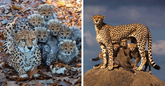 pictures of cheetah moms and their cheetah cubs thumbnail includes two pictures including one of a cheetah lying on the ground with a bunch of cheetah cubs and another of a cheetah standing on a rock with a bunch of cheetah cubs under her