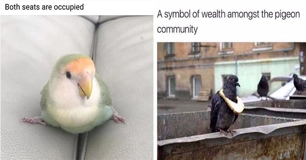 "funny and intense bird memes - thumbnail of two birb memes one of a bird with spread feet on two cushions ""both seats are occupied"" and one of a pigeon wearing bread around its neck ""a symbol of wealth amongst the pigeon community"""