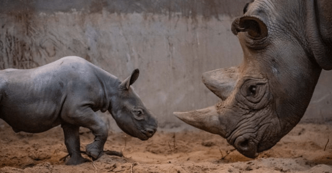story about a critically endangered black baby rhino being born in the chester zoo thumbnail includes a picture of two black rhinos looking at each other a rhino mom and a black rhino baby