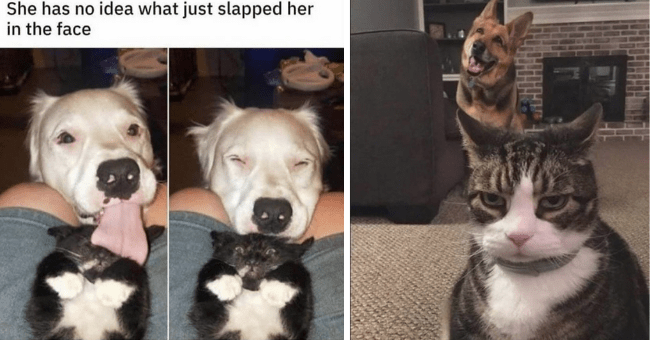 collection of funny memes and pictures of cats and dogs thumbnail includes two pictures including one of a dog smiling behind a frowning cat and another of a set of two pictures of a dog with a huge tongue licking a cat and the cat looking startled 'Dog breed - She has no idea what just slapped her in the face'