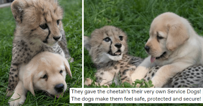 tumblr post about cheetahs and their emotional service dogs thumbnail includes two pictures of a cheetah cub and a dog hanging out all over each other and the caption 'They gave the cheetah's their very own Service Dogs! The dogs make them feel safe, protected and secure!'