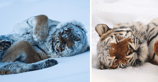 pictures of tigers covered in snow thumbnail includes two pictures including a tiger sleeping in the snow and a tiger on its back covered in snow