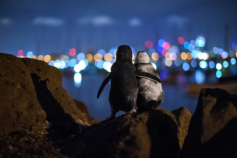 winners of the 2020 ocean photography awards, thumbnail of two penguins look out across the water, Melbourne's lights in the distance. St Kilda, Australia. by Tobias Baumgaertner