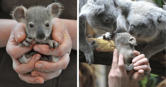 pictures of adorable tiny baby koalas thumbnail includes two pictures including a tiny baby koala held in a human's cupped hands and another of a baby koala bring brought to two large koalas