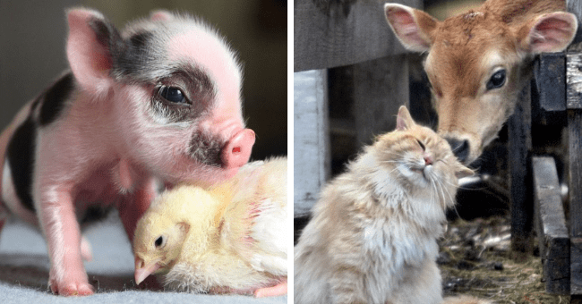 twitter thread of farm animal appreciation thumbnail includes two pictures including one of a cow nosing at a cat's head and another of a piglet and a chick cuddled together