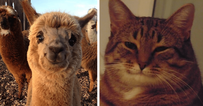 pictures of animals with smiles and calm eyes who look kind and caring thumbnail includes two pictures including a smiling kind cat and another of a smiling alpaca