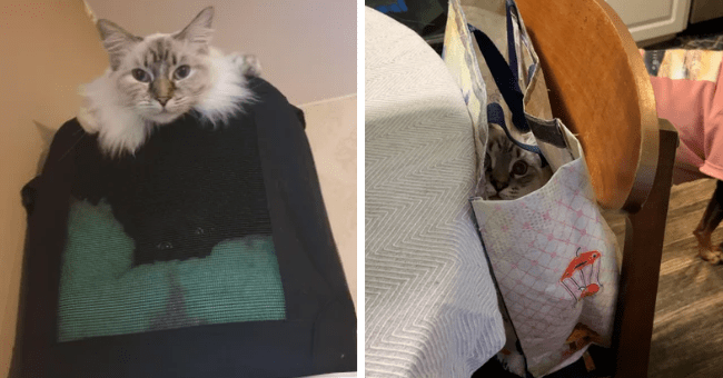 pictures of cats hidden in random places thumbnail includes two pictures including a cat inside of a grocery bag and another of two cats one on a cat carrier and the other hidden inside of the cat carrier