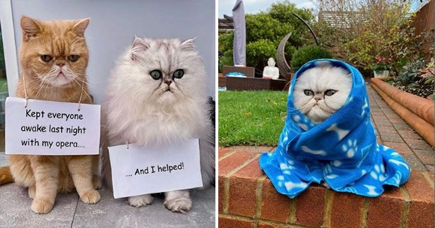 persian cats who are fluffy, cute and funny - thumbnail of cats with shaming signs of them singing late-night opera and another image of persian cat wrapped up in blue blanket