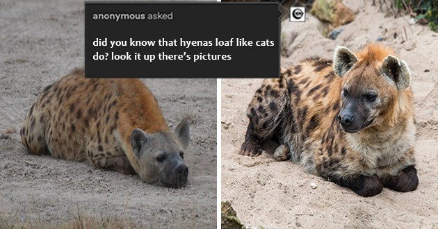 "hyenas sitting like cat loaves - thumbnail of two hyenas loafing ""did you know that hyenas loaf like cats do? look it up there's pictures"""