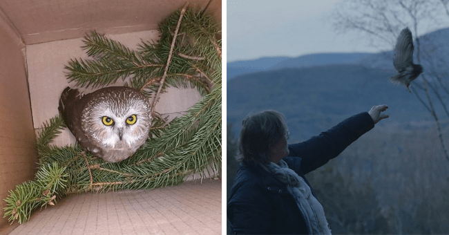 story about an owl that was rescued from inside of a Christmas tree getting released back into the wild thumbnail includes two pictures including an owl inside a box surrounded by Christmas tree parts and another of a woman letting a tiny owl go and the owl flying away