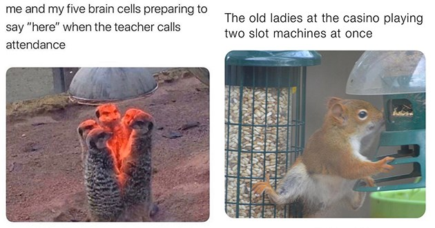 "list of funny and fresh animal memes - thumbnail includes two memes one of meerkats gathered around heat lamp ""me and my five brain cells preparing to say ""here"" when the teacher calls attendance"" and one of a squirrel eating from bird feeder ""the old ladies at the casino playing two slot machines at once"""