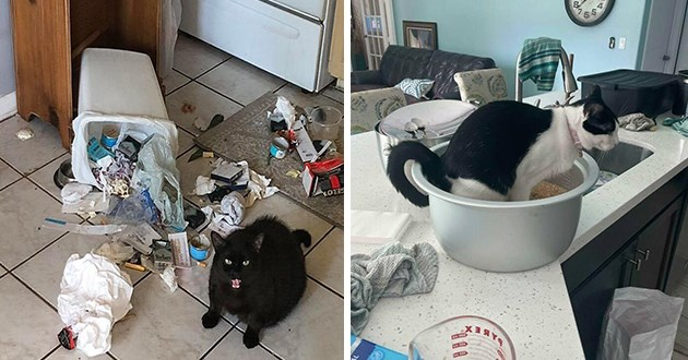cats creating a catastrophe in pics, thumbnail includes two images one of a cat who knocked over the trash can and another of a cat pooping in the bowl of rice