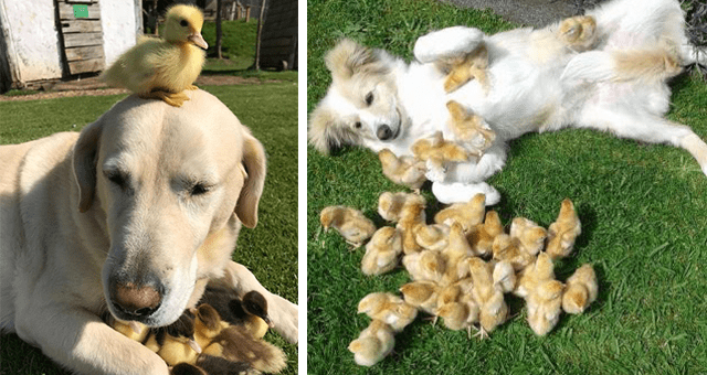 pictures of dogs and small yellow chicks thumbnail includes two pictures including a dog with chicks running toward it and another of a dog with chicks at its feet and a chick on its head