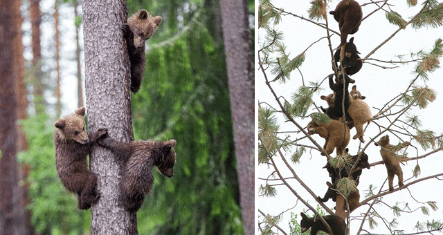 pictures of bear cubs in trees thumbnail includes two pictures including one of a huge group of bear cubs on a tree and another of three bear cubs climbing a tree