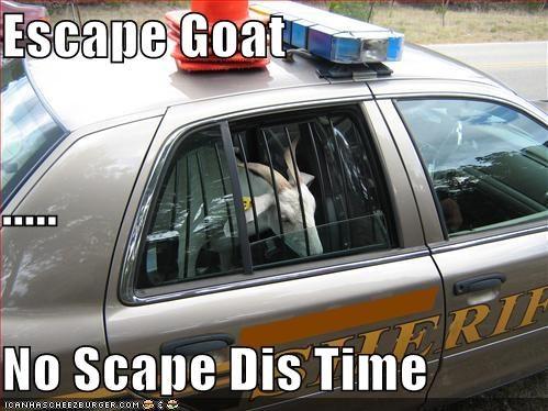 Escape Goat       No Scape Dis Time - Cheezburger - Funny