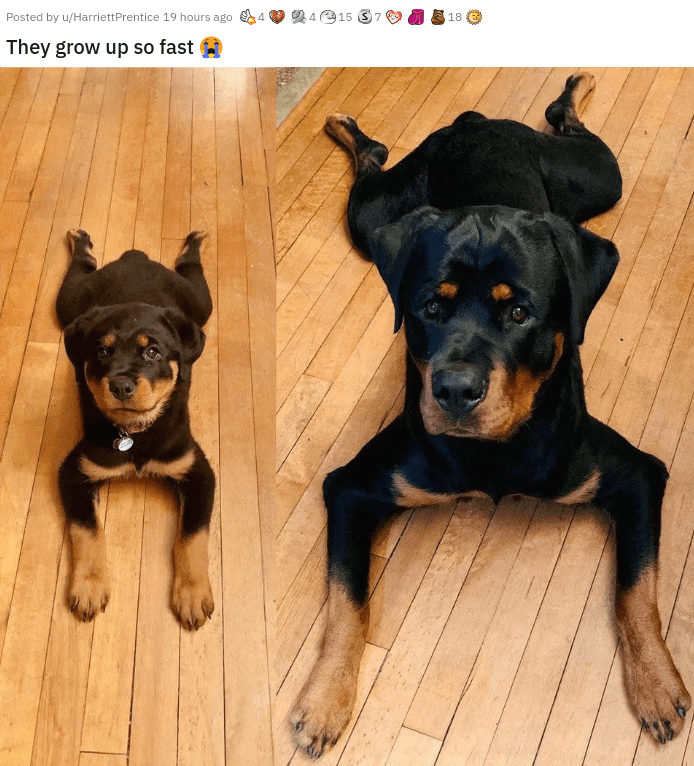cute heartwarming sweet and simply adorable pics pictures photos and videos to make you go aww baby animals cats kittens puppies adoption family | Posted by u/HarriettPrentice 19 hours ago 4 2415 18 They grow up so fast rottweiler