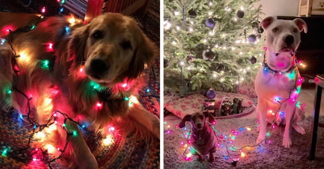 pictures of dogs entangled in Christmas lights thumbnail includes two pictures including an older dog entangled in Christmas lights and two dogs one small and one large entangled in Christmas lights and looking guilty