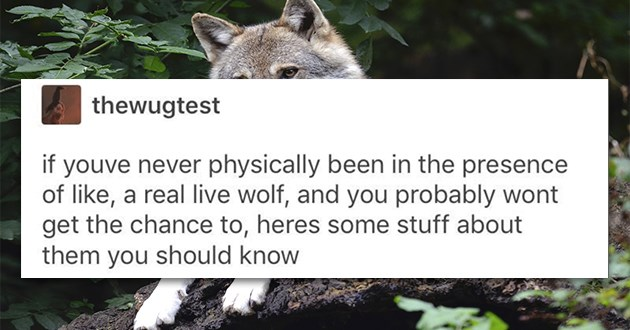 "adorable tumblr thread of what real wolves are like - thumbnail of beginning of thread ""if youve never physically been in the presence of like, a real live wolf, and you probably wont get the chance to, heres some stuff about them you should know"""