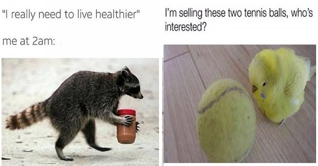 """list of funny and fresh animal memes - thumbnail includes two memes one of a raccoon with peanut butter """"I really need to live healthier Me at 2am:"""" and a little bird besides a tennis ball """"I'm selling these two tennis balls, who's interested?"""""""