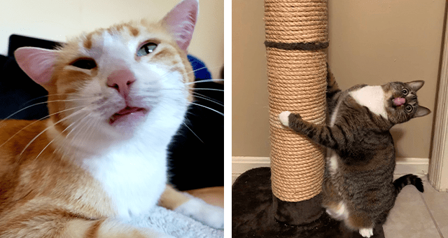 pictures of cats high on catnip thumbnail includes two pictures including a cat making a funny face and a another of a cat licking its nose and leaning on a scratching post