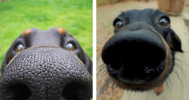pictures of dogs sniffing cameras up close thumbnail includes two pictures of fogs sniffing cameras with their snouts filling up almost the entire frame