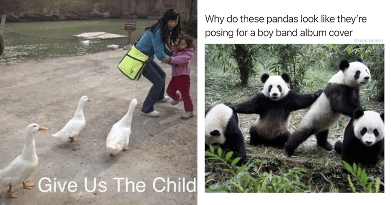Funny animal memes | Give Us Child three ducks chasing a woman protecting a young kid | Why do these pandas look like they're posing boy band album cover @tank.sinatra