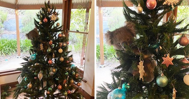 family finds koala on their christmas tree - thumbnail of koala on christmas tree